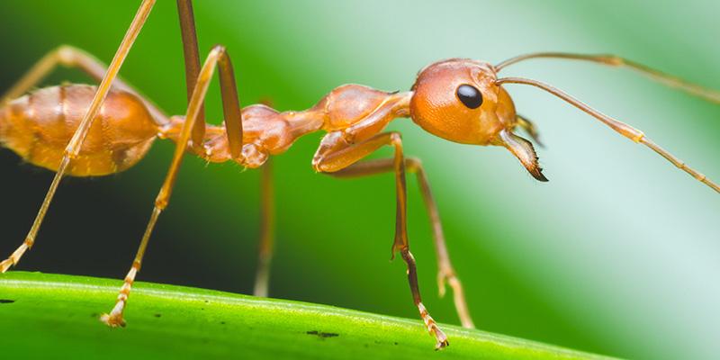 La fourmi argentine