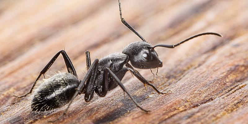 La fourmi noire