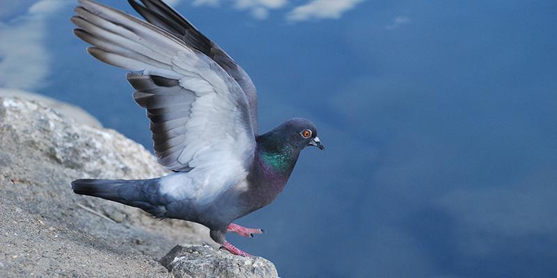 pigeon_biset