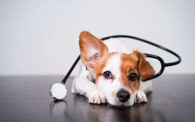 Détection canine des punaises de lit